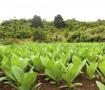 Nuevas Plantaciones Puros Artesanos Julio