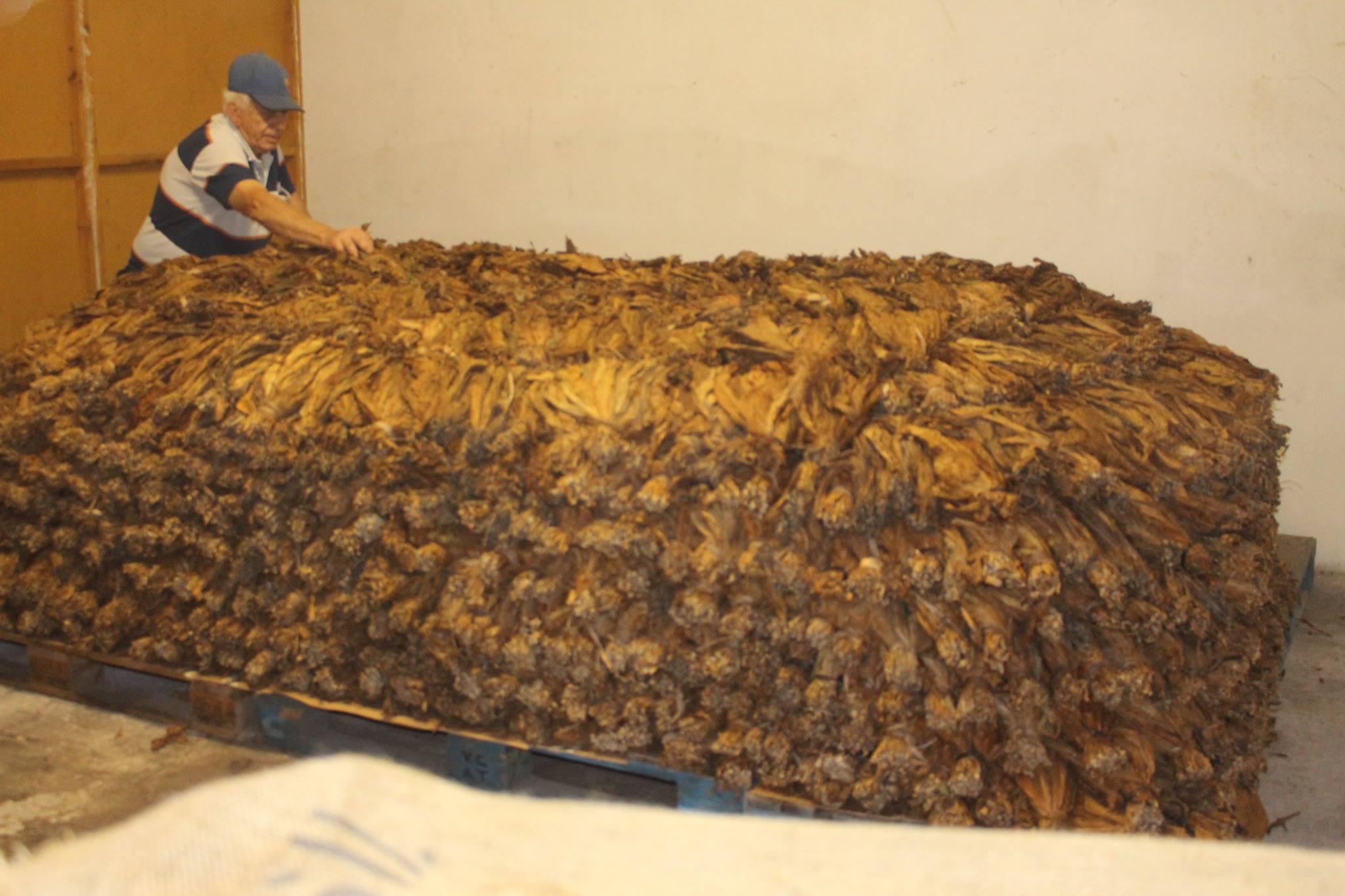 Pilón de Tabaco Plantacion de tabacos en la Palma, cosecha de Puros Julio